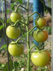 Racimo de tomates